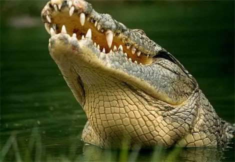 Nile Crocodile Pictures, Images and Photos