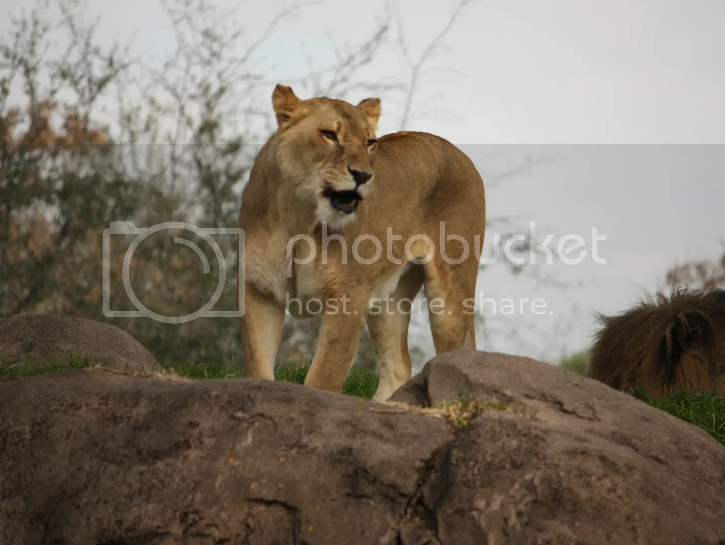 lioness photo: Lioness animalkingdom149.jpg
