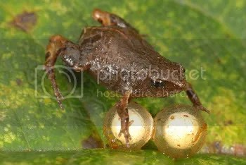 Female Noble's pygmy frog with two eggs