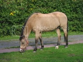 Buckskin New Forest Pony