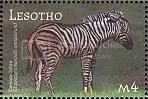 Zebra - Lesotho