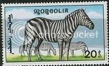 Zebra - Mongolia