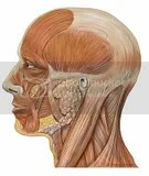Lateral head anatomy