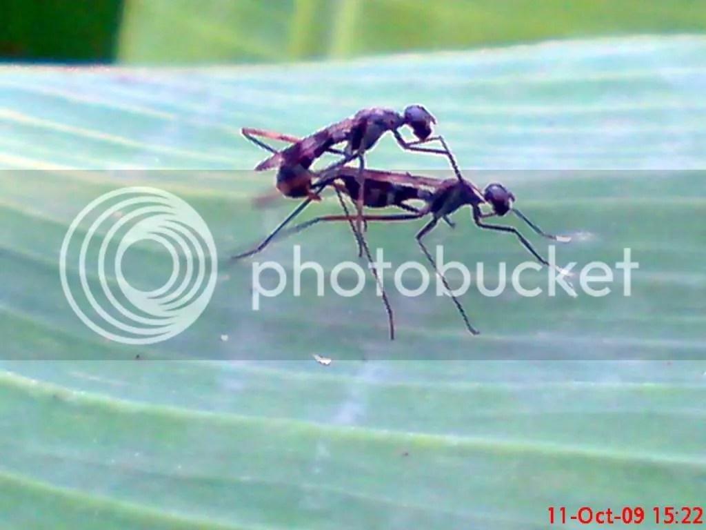 serangga kawin dan kawin 24