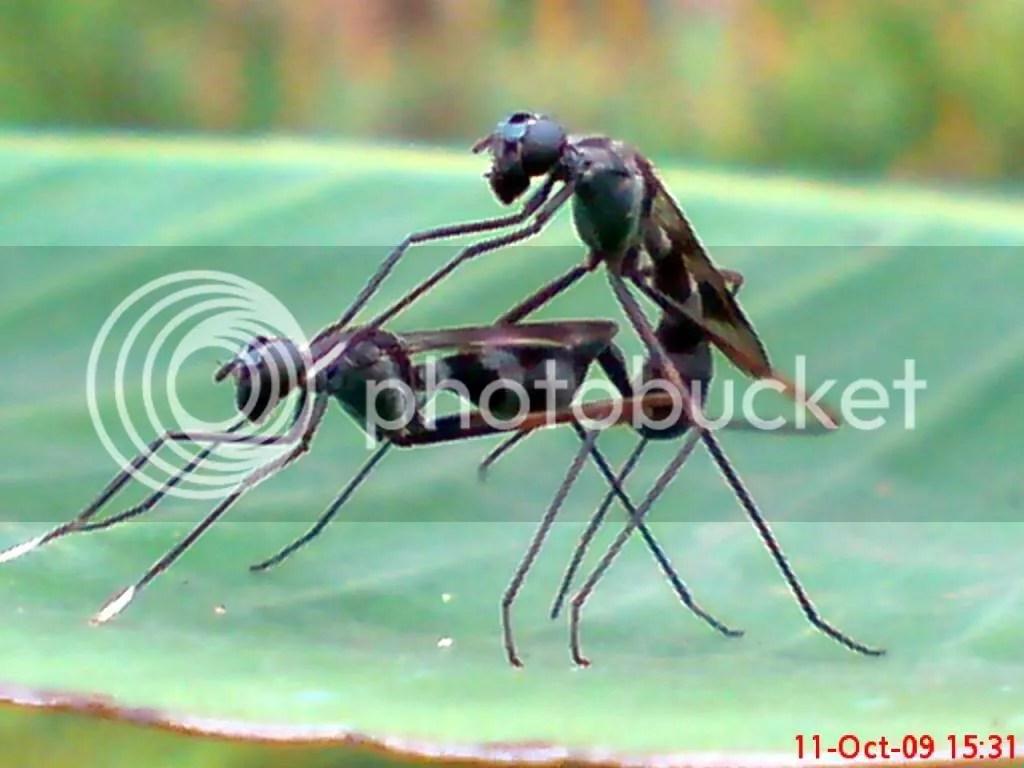 serangga kawin dan kawin 08