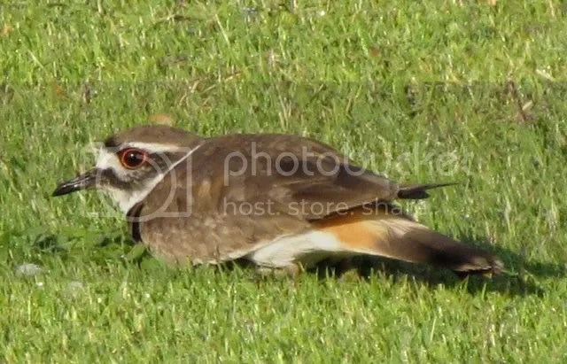 forest park killdeer crouching in grass