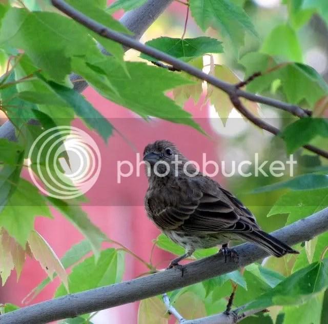 song sparrow 180509