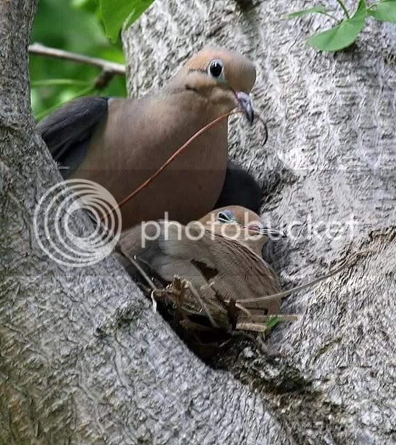 nesting mourning doves botanical center st L 260409