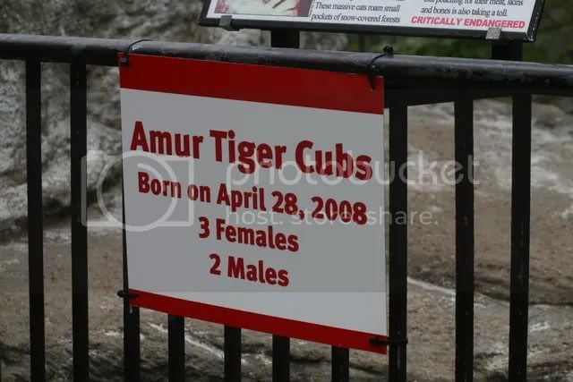 amur tiger cubs birthday 280409 st L zoo