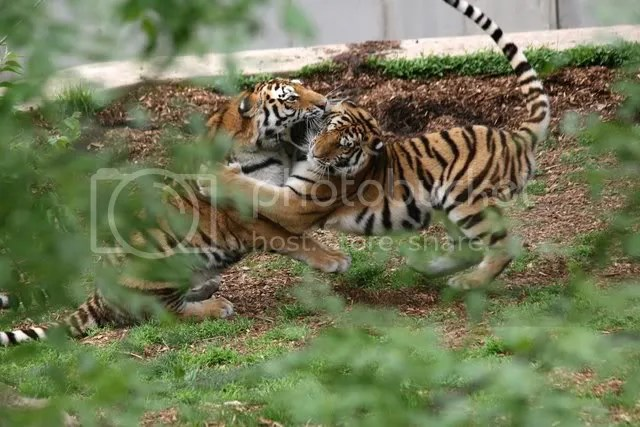 280209 2 tiger cubs playing