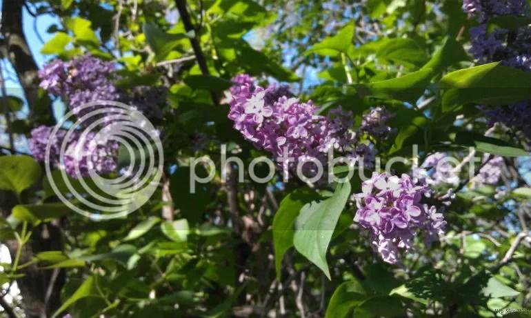 Lilacs Close-up - May 2012 Trumansburg NY