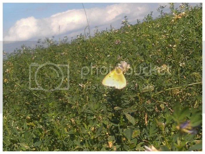Yellow butterfly in alfalfa field (Big Sky Wide).