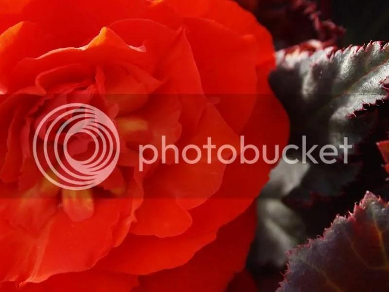 photo Begonia_zpscf864395.jpg