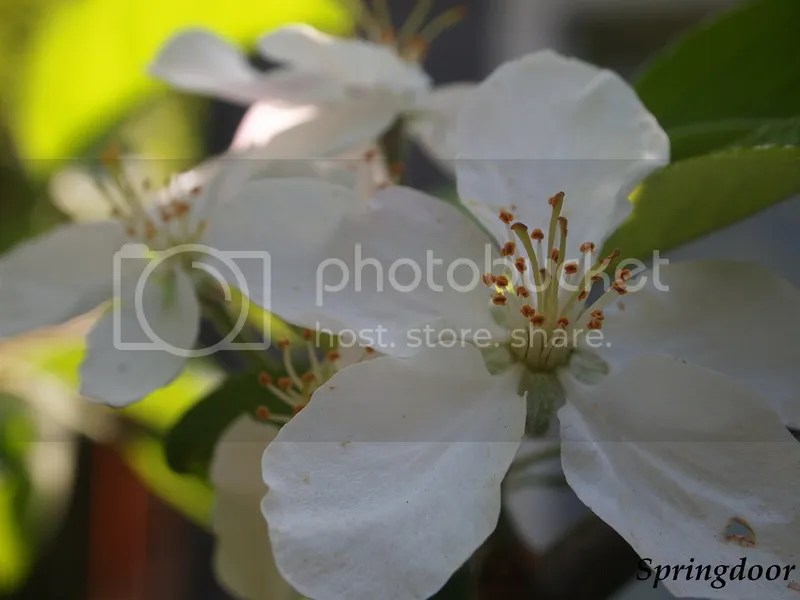photo apple blossoms_zpsnbiwus3j.jpg