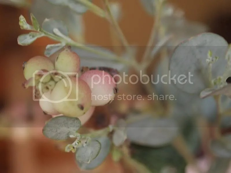 photo berries_zpsef621b6d.jpg