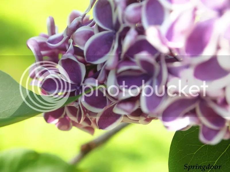 photo lilac2015_zpsuuo64dul.jpg