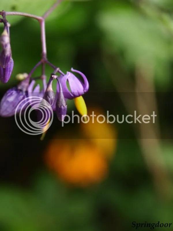 photo purpleflower2013_zpsc5763626.jpg