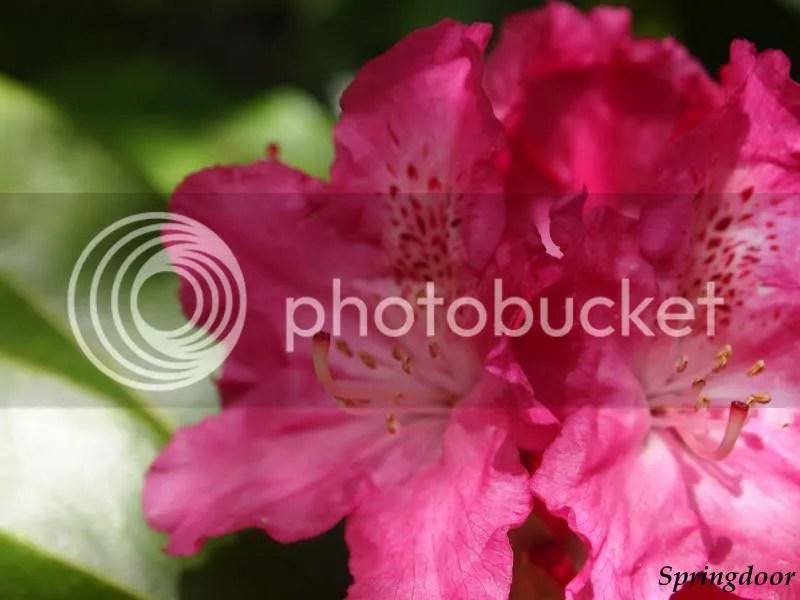 photo rhodadendron_zps848bea94.jpg
