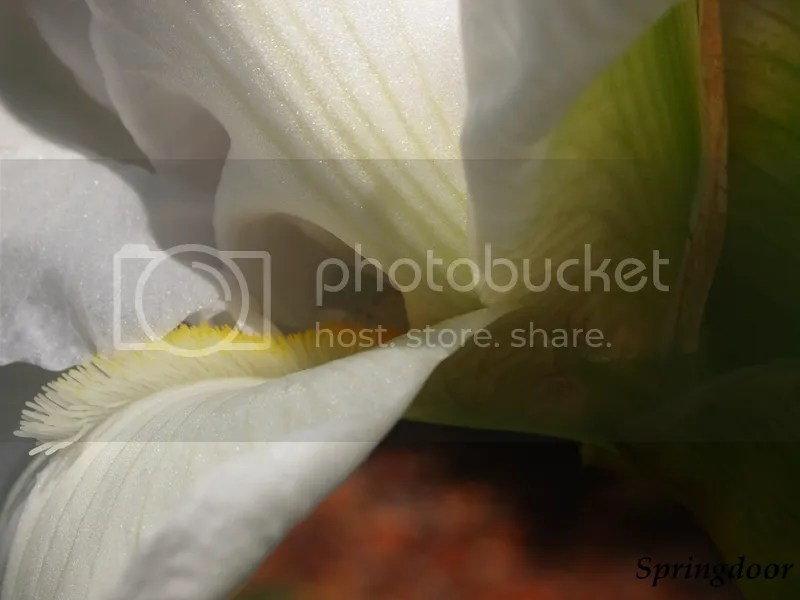 photo white iris_zpsxvjejof1.jpg
