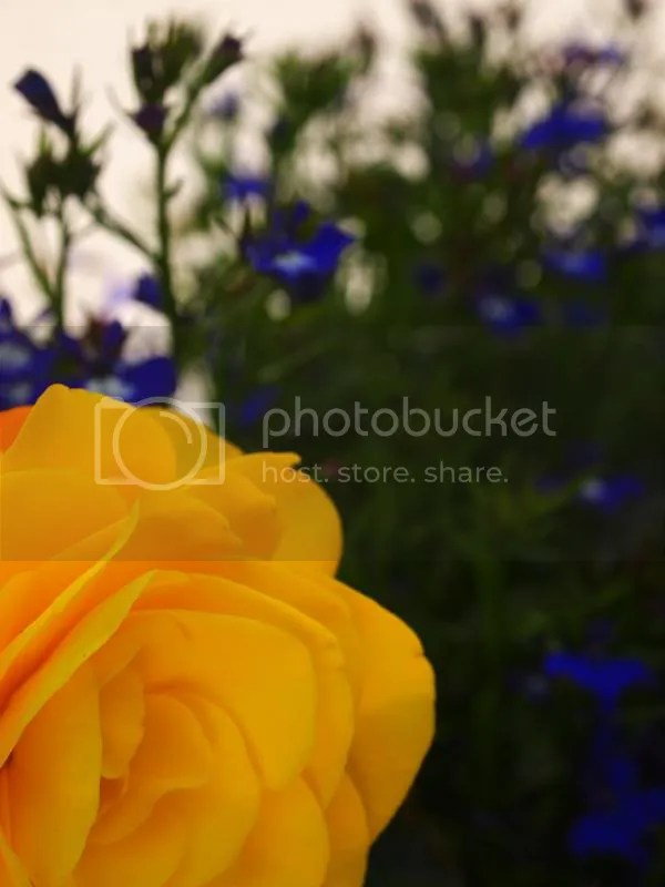 photo yellowandblueflowers_zpsbef18165.jpg