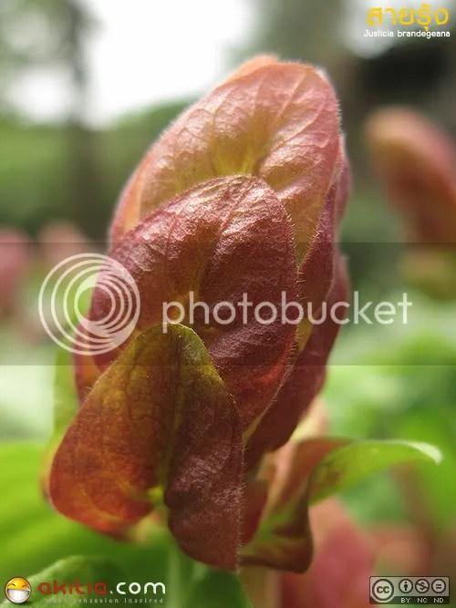 ต้นสายรุ้ง, สายรุ้ง, Justicia brandegeana, Shrimp Plant, Beloperone guttata, ต้นไม้, ดอกไม้
