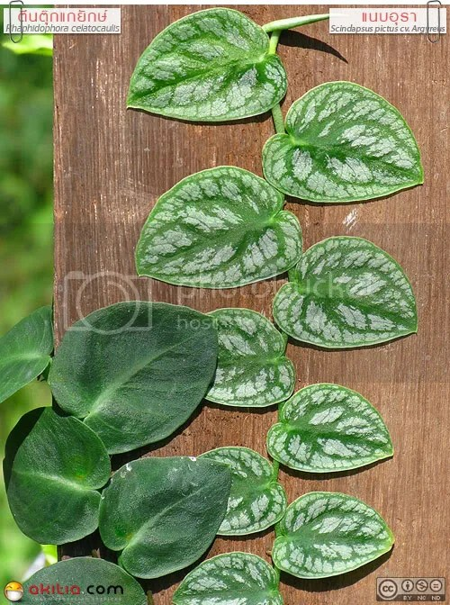 แนบอุรา, หัวใจแนบ, ตีนตุ๊กแกยักษ์, Scindapsus pictus cv. Argyreus, Rhaphidophora celatocaulis, ไม้ใบ, พลู, ไม้เลื้อย, เกาะกำแพง, ต้นไม้, ดอกไม้, aKitia.Com