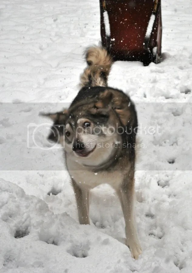 Malamute playing in the snow