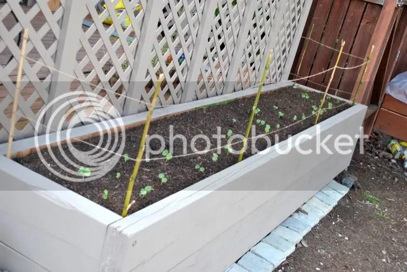 Hops and nasturtium raised bed