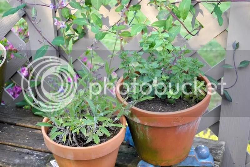 sage and oregano in pots