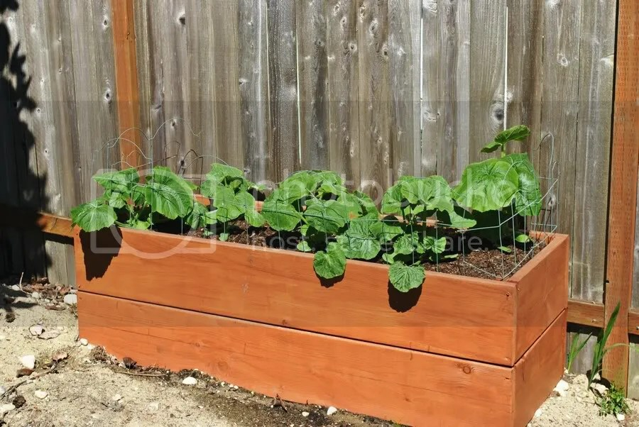 winter squash growing in raised bed