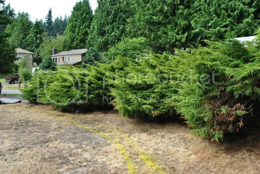 overgrown junipers and dead lawn