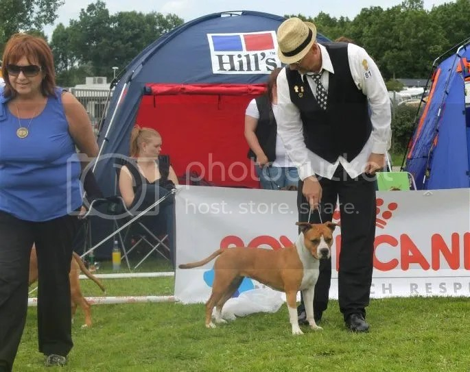 BEST FEMALE 2, Amstaff Specialty Sweden 22.7.2012 Entries 118. Judge: Malgorzata Jurek Erenska, Poland