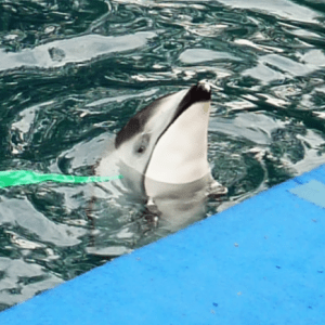 Helen, the last dolphin left at Vancouver Aquarium