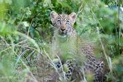 leopardcubrene2.185046.jpg