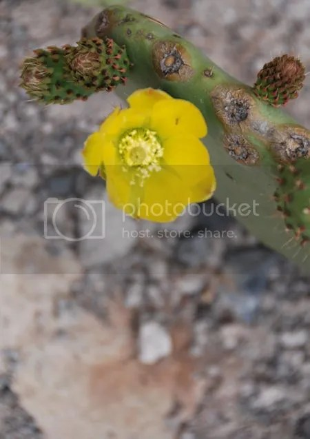 photo DSC_6914CactusBloemGeel.jpg