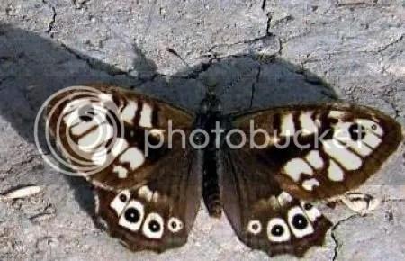 photo ArgusvlinderAlbescensJanParieBergschenhoek17september2009ArgusvlinderZeerZeldzameVormAlbescens.jpg