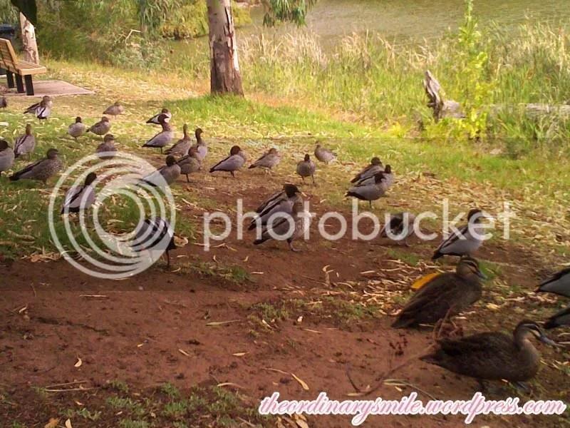 Ducks at school