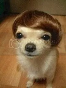 Chihuahua hair