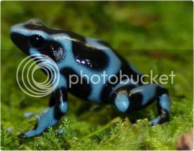 Blue Auratus