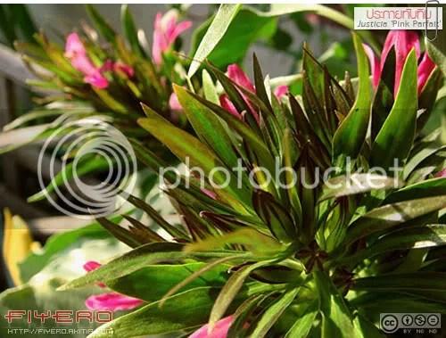 ประกายทับทิม, พู่จอมพล, พู่จอมพลสายพันธุ์ใหม่, บานเย็น, Justicia Pink Parfait, ต้นไม้หายาก, ไม้ดอก, ดอกสีชมพู, ต้นไม้, ดอกไม้, aKitia.Com