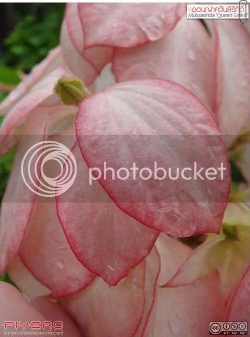 ดอนญ่า, ดอนย่า, ดอนญ่าควีนสิริกิติ์, ดอนญ่าขาว, ดอนญ่าแดง, ดอนญ่าออโรร่า, ดอนญ่าลูซ, ช้อนทอง, Dona, Mussaenda, Bangkok Rose, Buddha's Lamb, Virgin Tree, Tropical Dogwood, Mussaenda philippica, Aurorae, Mussaenda Queen Sirikit, Mussaenda Marmalade, ต้นไม้, ดอกไม้, aKitia.Com