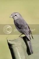 Vireos, North American Bird