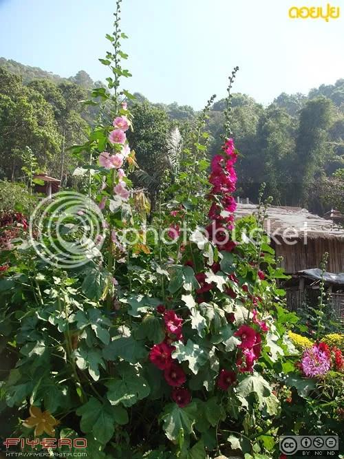 ดอยปุย, Doi Pui, เชียงราย, สวนดอกไม้, ต้นไม้, ดอกไม้