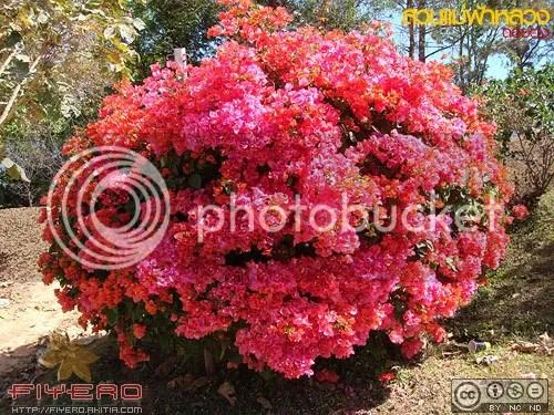 สวนแม่ฟ้าหลวง, ดอยตุง, Doi Tung, เชียงราย, สวนดอกไม้, ต้นไม้, ดอกไม้
