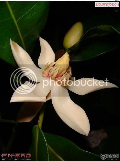 มณฑาภูจอง, มณฑาภูจองนายอย, Magnolia liliifera, มณฑาพันธุ์อีสานใต้, ไม้ดอกหอม, แมกโนเลีย, Montha Phujong, Magnolia, ไม้หายาก, ดอกไม้สีขาว, ต้นไม้หายาก, ต้นไม้, ดอกไม้, aKitia.Com