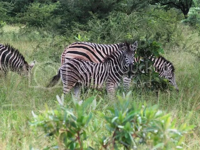 photo Baby_zebra_on_route_to_Parfuri_zps072020a6.jpg