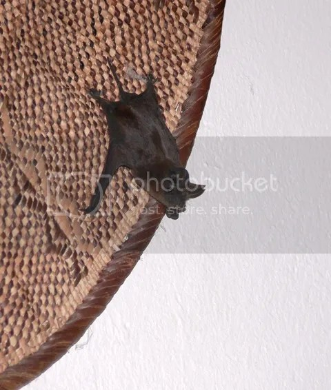 photo Bat_in_room_Orpen_Mar_2014_zpscdfa3a8f.jpg