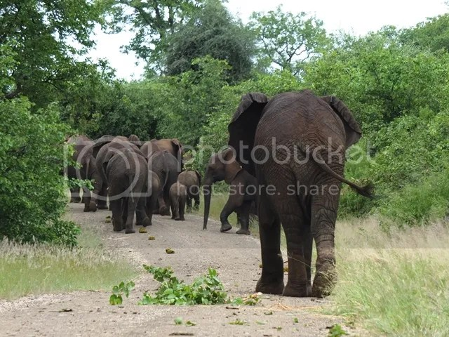 photo Following_elephants_zps80d73eea.jpg