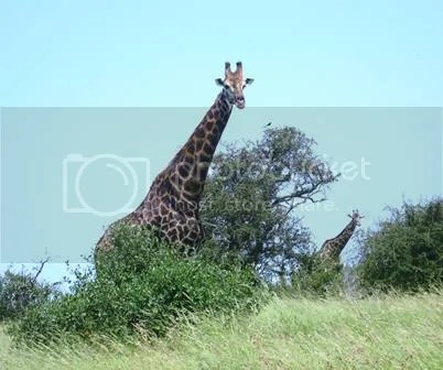 photo Giraffe_doubles_zps151bfa0c.jpg
