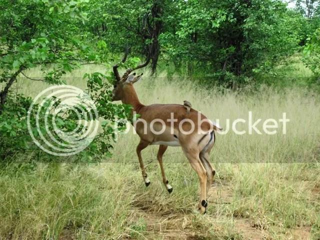 photo Impala_takes_flight_with_oxpecker_on_board_zps9b65c246.jpg